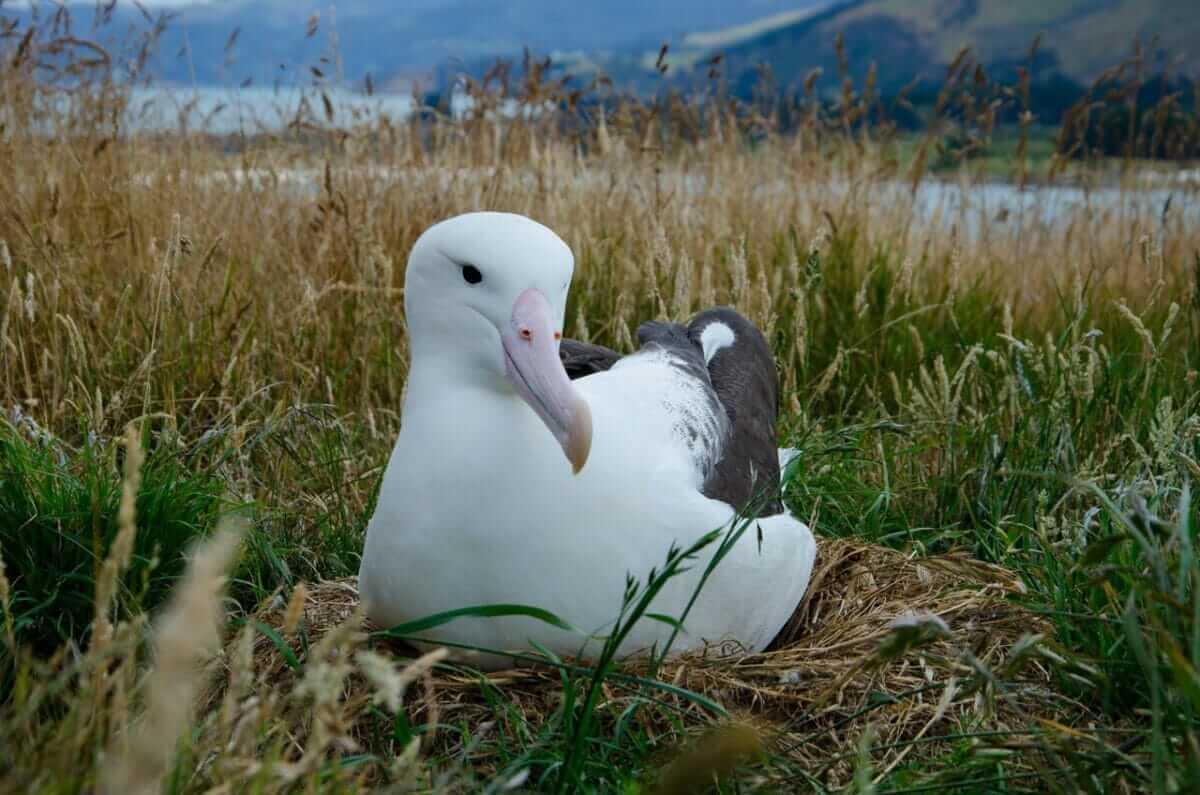 Albatrossens forunderlige liv i Taiaroa reservatet