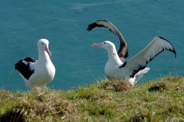 Albatros fotos nr. 7