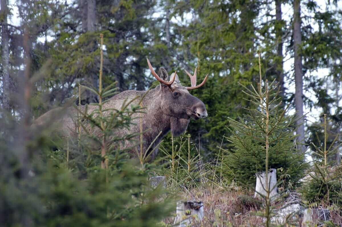 Elgsafari – på udkig efter skovens konge