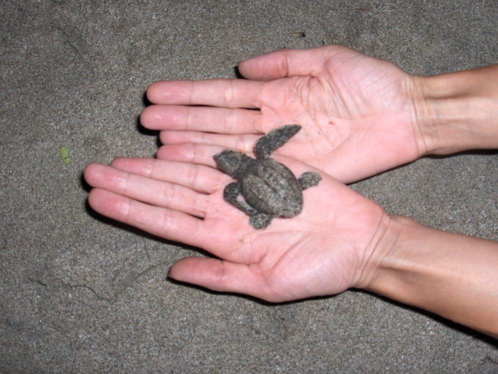 Havskildpadderne  en truet art
