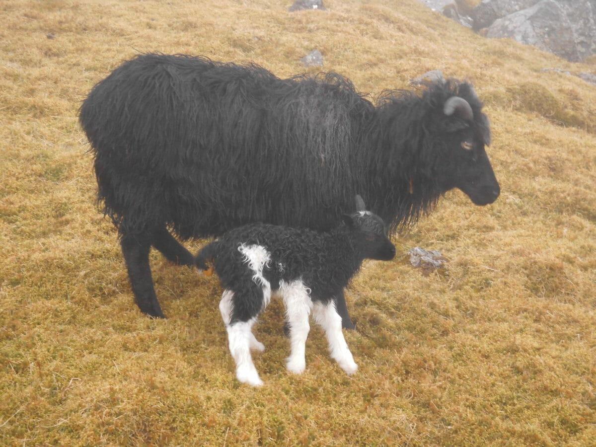 Til fods i Færøernes fjelde