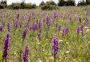 Ølands vilde orkideer skal opleves i maj og juni