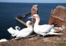 Tæt på Helgolands vilde fugle og dramatiske historie